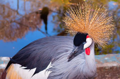 Grey Crowned Crane (Balearica regulorum) Arkivfoton