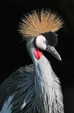 Grey crowned crane of South Africa Stock Photos