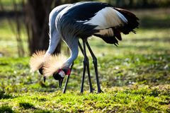 Grey Crowned Crane (Balearica regulorum) Stock Images