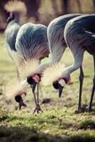 Grey Crowned Crane (Balearica regulorum) Royalty Free Stock Image
