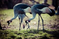 Grey Crowned Crane (Balearica regulorum) Royalty Free Stock Image