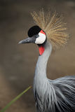 Grey Crowned Crane (Balearica-regulorum) Stockfoto