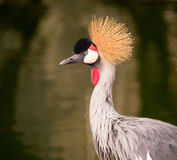 Grey crowned crane (Balearica regulorum) Royalty Free Stock Photos