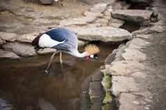 Grey Crowned Crane stock photo