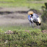 Grey Crowned Crane (Balearica regulorum) Royalty Free Stock Photo