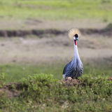 Grey Crowned Crane (Balearica regulorum) Stock Photos