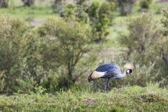 Grey Crowned Crane (Balearica regulorum) Royalty Free Stock Images