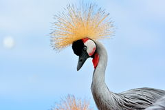 Grey Crowned Crane Balearica-regulorum Lizenzfreie Stockfotografie