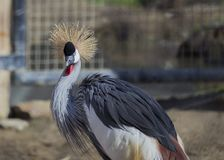 Grey Crowned Crane (Balearica-regulorum) Stockbilder
