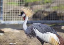 Grey Crowned Crane (Balearica-regulorum) Lizenzfreies Stockbild