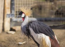 Grey Crowned Crane (Balearica-regulorum) Stockfotos