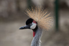 Grey Crowned Crane (Balearica-regulorum) Lizenzfreie Stockfotos