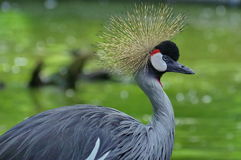 Portrait of bird. Grey crowned crane Royalty Free Stock Image