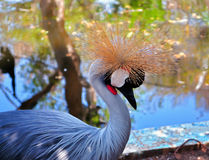 Grey Crowned Crane (Balearica regulorum) Stock Photography