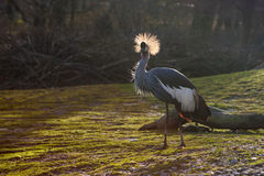 Grey Crowned Crane (Balearica regulorum) in backlight Stock Photography
