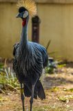 Grey crowned crane Balearica regulorum - Beautiful but endange. Red national bird of Uganda royalty free stock image