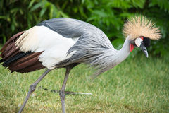 The Grey Crowned Crane (Balearica regulorum) is a bird in the crane family Gruidae. Royalty Free Stock Photo