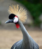 The grey crowned crane Stock Photography