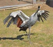 Grey crowned crane Balearica regulorum dances in spring.  royalty free stock photography