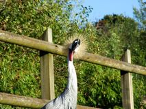 The grey crowned crane Balearica regulorum, Der Südafrika-Kronenkranich, Grauhals-Kronenkranich or Heller Kronenkranich. Abenteurland Walter Zoo - Gossau royalty free stock image