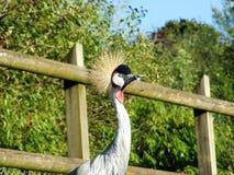 The grey crowned crane Balearica regulorum, Der Südafrika-Kronenkranich, Grauhals-Kronenkranich or Heller Kronenkranich. Abenteurland Walter Zoo - Gossau royalty free stock photography