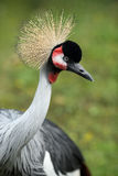 Grey crowned crane, Balearica regulorum Royalty Free Stock Image