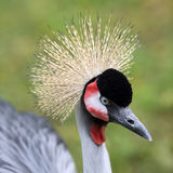 Grey crowned crane, Balearica regulorum Stock Photography