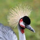 Grey crowned crane, Balearica regulorum Stock Photography