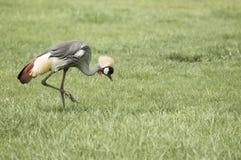 Grey Crowned Crane (Balearica regulorum) Royalty Free Stock Photography