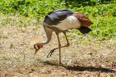 Grey crowned crane (Balearica regulorum) eating stock image