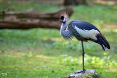 Grey Crowned Crane- - Balearica-regulorum im wilden Stockfotos