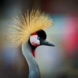 The Grey Crowned Crane (Balearica regulorum) Stock Photos
