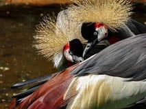 Grey Crowned Crane Balearica Regulorum-Paarvrijage royalty-vrije stock foto's