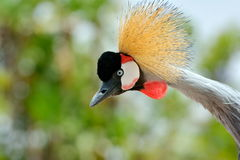 The Grey Crowned Crane (Balearica regulorum) Stock Photography