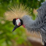 The Grey Crowned Crane (Balearica regulorum) Royalty Free Stock Photos