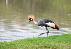 Grey Crowned Crane, Balearica Regulorum Royalty Free Stock Photos