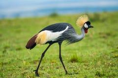 Grey crowned crane. (Balearica regulorum)  in the savannah of Kenya, Africa Royalty Free Stock Photo