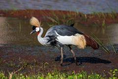 Grey crowned crane (Balearica regulorum)  in the savannah of Kenya, Africa Stock Photos