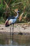Grey crowned crane (Balearica regulorum)  in the savannah of Kenya, Africa Royalty Free Stock Images
