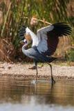 Grey crowned crane (Balearica regulorum)  in the savannah of Kenya, Africa Stock Image