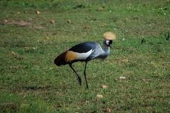 Grey Crowned Crane Balearica regulorum in the savannah of Masa royalty free stock images