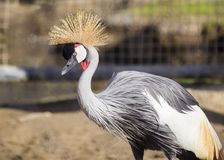 Grey Crowned Crane (Balearica regulorum) Stock Photos