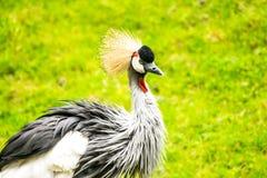 Grey Crowned Crane. Balearica regulorum. stock photography