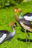 Grey Crowned Crane in Bali-Insel Indonesien Stockfoto