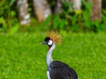 Grey Crowned Crane in Bali Island Indonesia Stock Photo