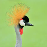 Grey Crowned Crane bird Stock Photos