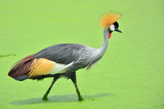 Grey Crowned Crane bird Royalty Free Stock Photography