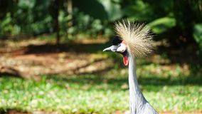 Grey Crowned Crane Bird royalty free stock image