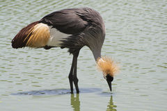The Grey Crowned Crane bird. Royalty Free Stock Photos