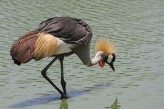 The Grey Crowned Crane bird. The Grey Crowned Crane bird in the lake Stock Photos